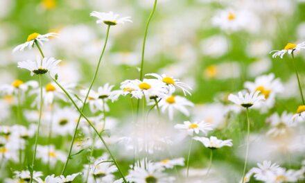 Grabów stawia na łąki kwietne