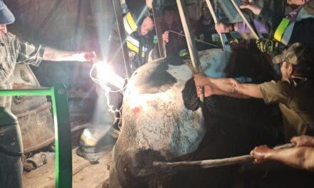 Krowa w szambie. Z pomocą przyszli strażacy
